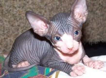 sphynx kitten female blue eyed ready for adoption