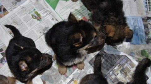 male and Female German shepherd puppies for sale .
