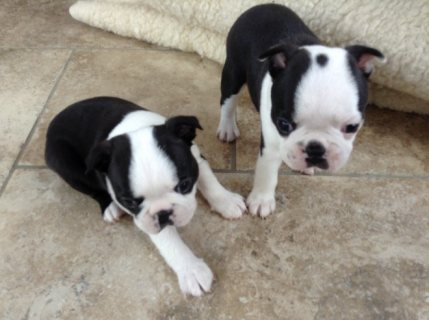 Exceptional Male and Female Boston Terrier Puppies
