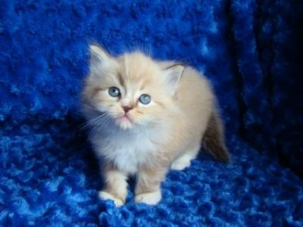 Cute Ragdoll kittens available for a new home 6543