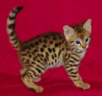 Male And Female Bengal kittens ready 6543