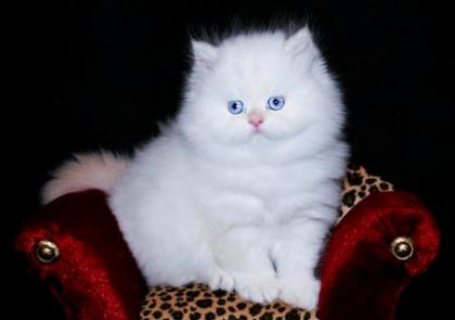 ADORABLE MALE AND FEMALE TINY TEACUP PERSIAN KITTENS.0987