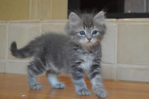 Cute Siberian Kittens ready to go For Good Homes 4323