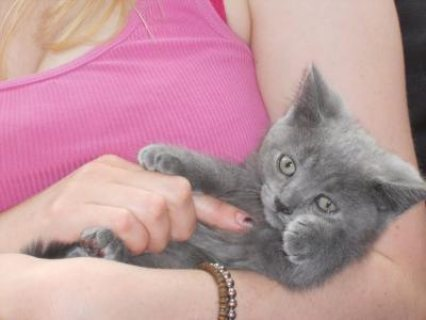 Cutest British Short Hair Kittens Available For Rehoming  654