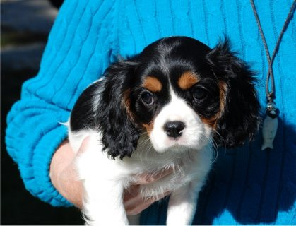 Beautiful Cavalier King Charles Spaniel Puppies Available.
