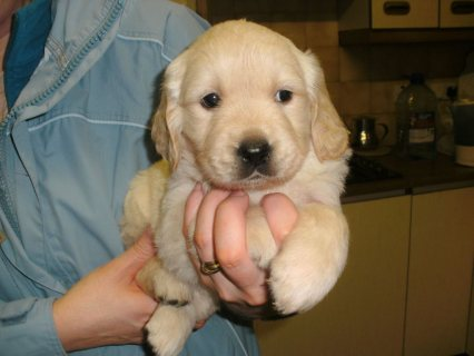Male golden retriever puppy for sale.