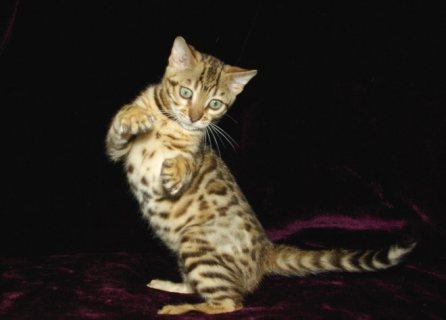 صور Astonishing Cute Bengal kittens Available 1