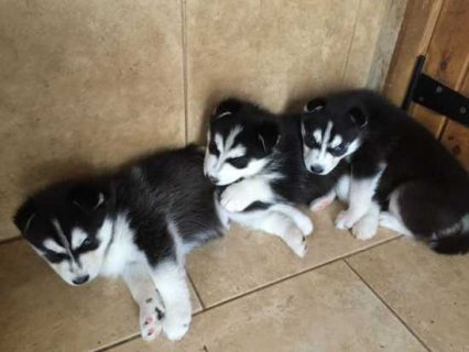 Cute Male and Female Pure-breed Husky Puppies
