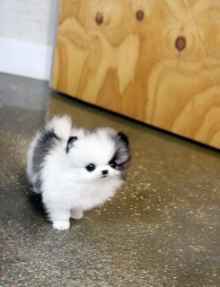active Males and Females T-cup Pomeranian Puppies