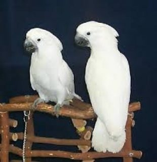 cockatoo parrots for sale.Please contact us