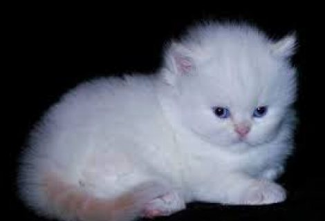 Cute taecup Persian kittens ready for sale .contact us now.