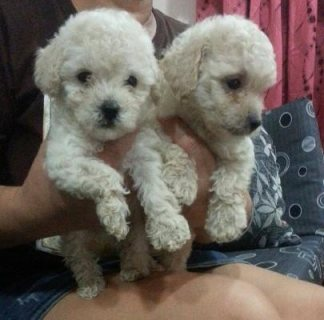 Afectionate Poodle Puppies For Sale