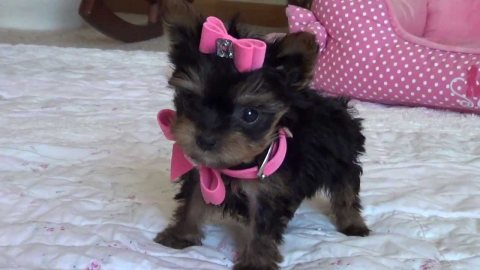 Beautiful Male and Female Yorkie Puppies For Sale