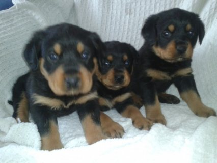 Registered Rottweiler Puppies For Re-Homing