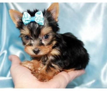 Excellent Yorkshire  Puppies For Sale