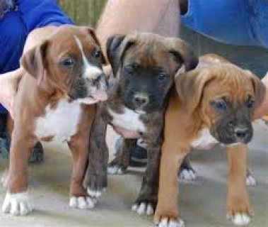 Boxer Pups for adoption