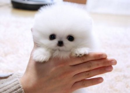 صور Pomeranian puppies for re hoing 1