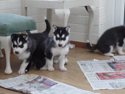 صور Siberian husky Puppies Ready for sale 1
