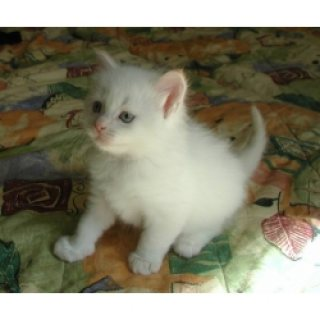 They are purebred Persian kittens with deep blue eyes good for s