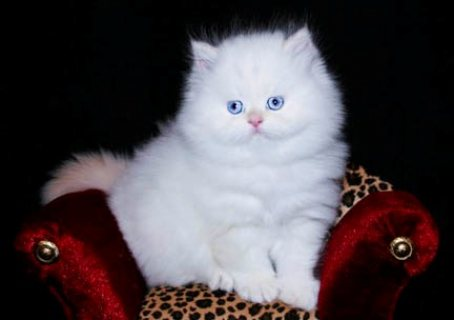 Adorable Pedigree Persian Kittens