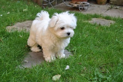 Pedigree Maltese Puppy Ready For Adoption!