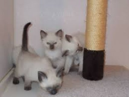Siamese Kittens for Sale very cheap