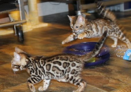 Super Playful Bengal kittens Available
