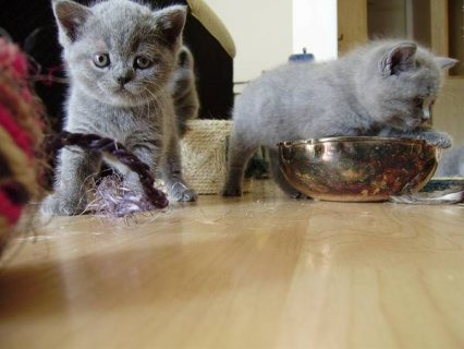 صور gave away British shorthair kittens 1
