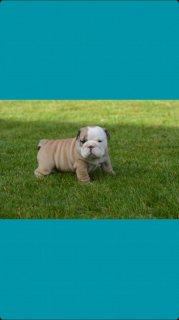 Stunning Litter Of Kc Reg English Bulldog Puppies