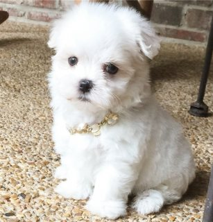 Top Quality male and female maltese puppies  for adoption