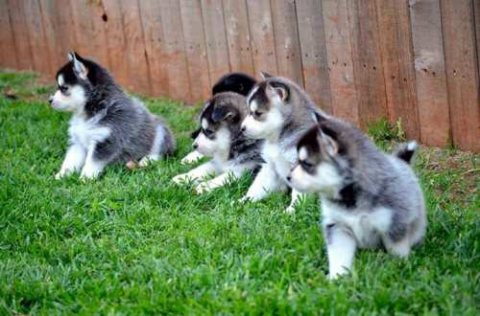 Pomsky Puppies for sale male and female