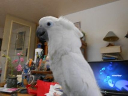 SUPER SWEET UMBRELLA COCKATOO