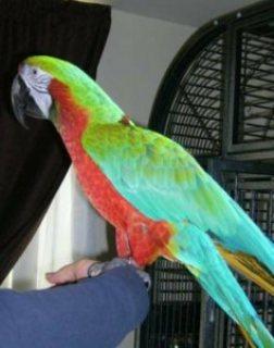 Rainbow Harlequin Female Parrot
