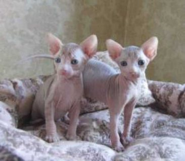 TICA registered sphynx babies available