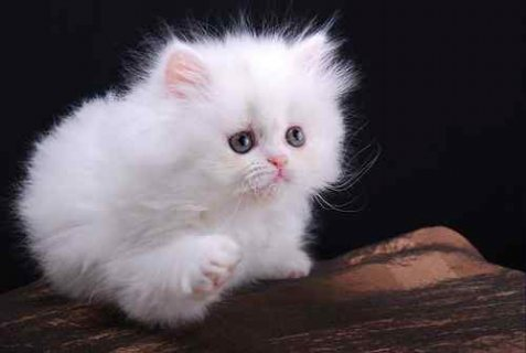 White Presian Kittens For Sale