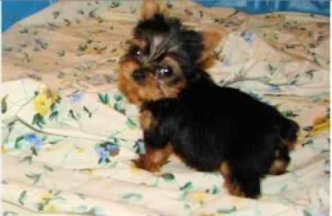 Awesome Cutties teacup Tiny Yorkie puppies for Adoption text