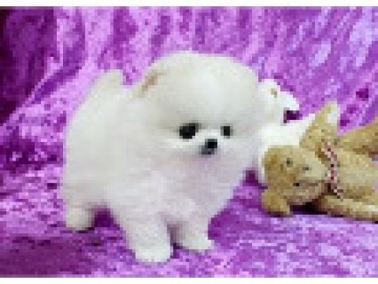 pomeranian pups To Good Homes
