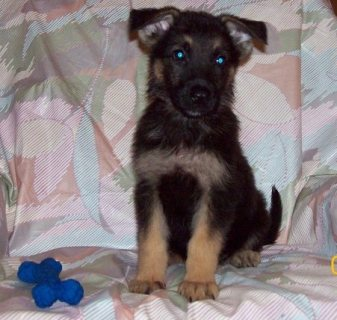 GERMAN SHEPARD FOR ADOPTION