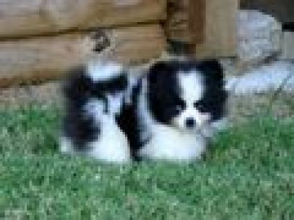 Two Blue Eyes pomeranian  Puppies