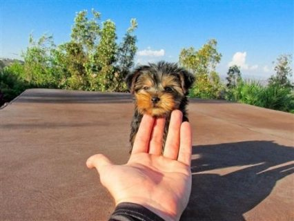 Awesome Yorkie for sale