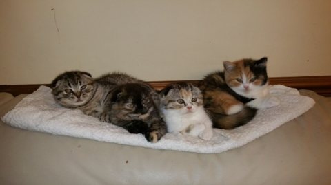 Cute and Adorable Scottish fold Kittens for Sale