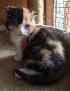 Scottish fold Kittens  Males & Females For Sale