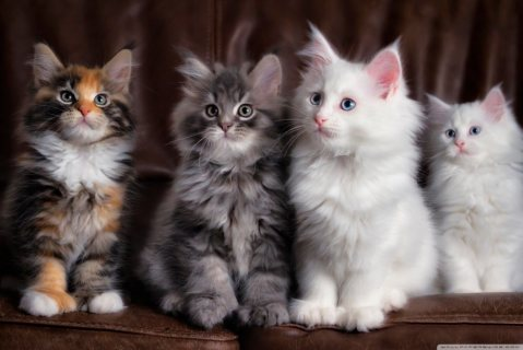 صور Beautiful pure bred Maine Coon Kittens ready For Sale 1