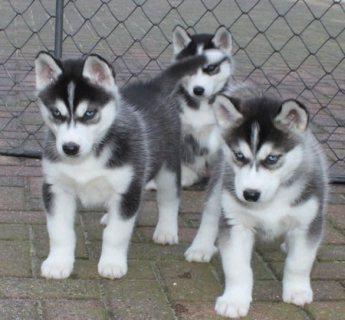 We have Beautiful Siberian Husky puppies