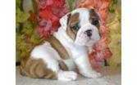 Healthy strong and well bred Bulldog females for sale