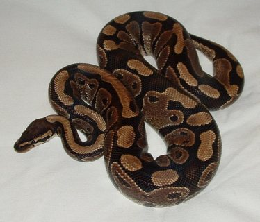 Cute male and female ball python