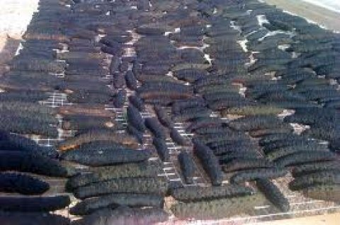 Whole sale sea cucumber