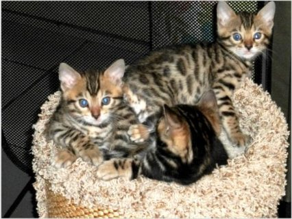 Adorable male and female Bengal kittens