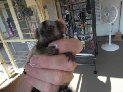 lovely Marmoset monkeys for adoption