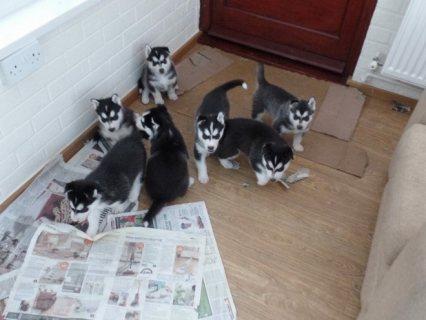 Adorable Siberian husky puppy for adoption